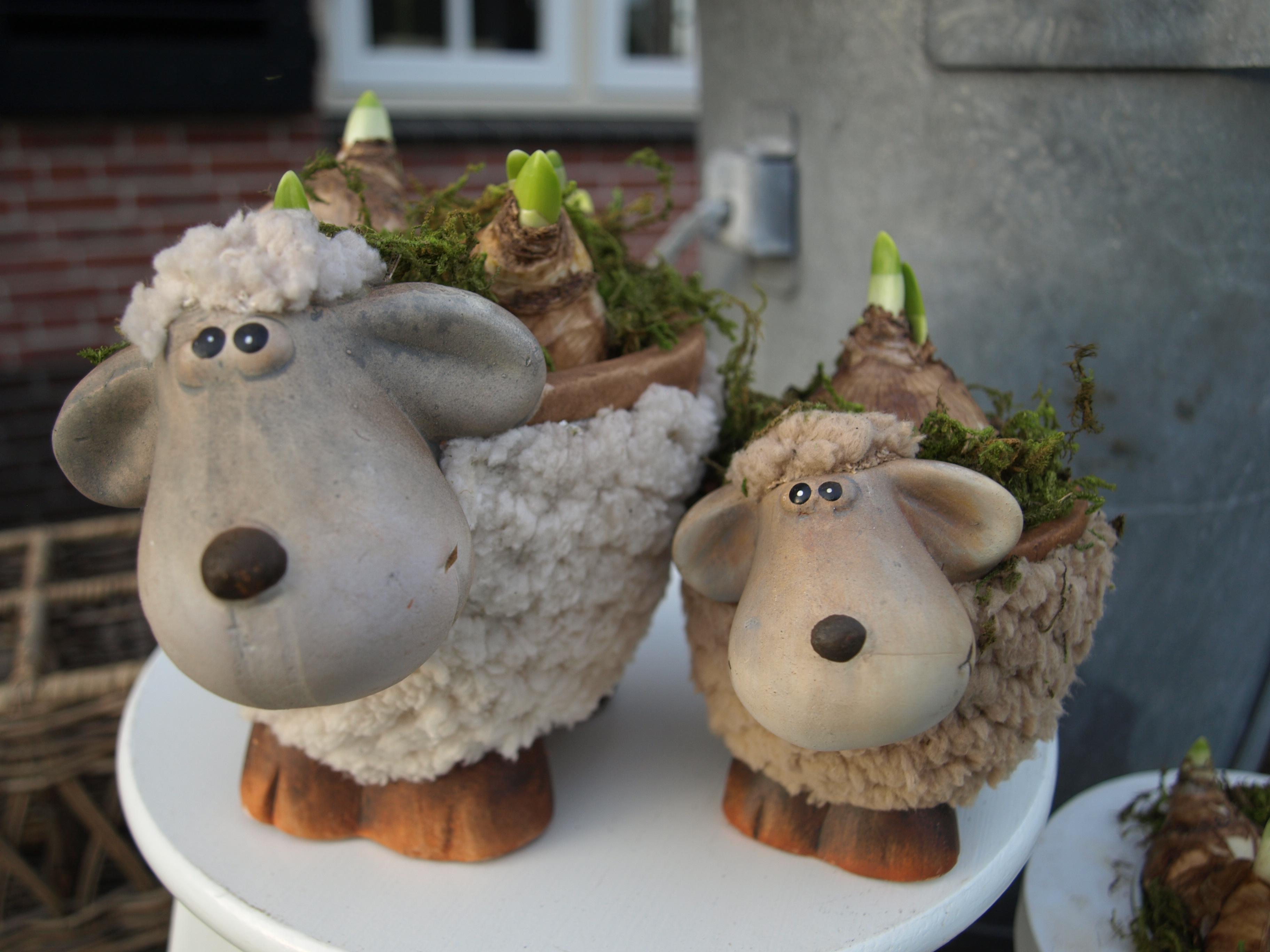 sheep roma nova